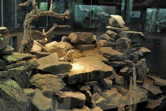 Oklahoma City Zoo: Painted chuckwalla habitat inside the Island Life building.