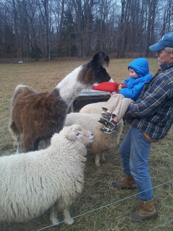 Vermont Grand View Farm and Bed & Breakfast : Feeding the llama