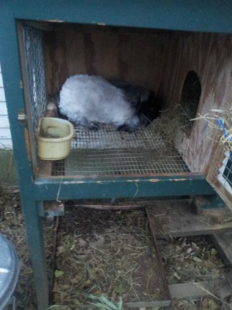 Vermont Grand View Farm and Bed & Breakfast : The recently sheared Angora rabbit