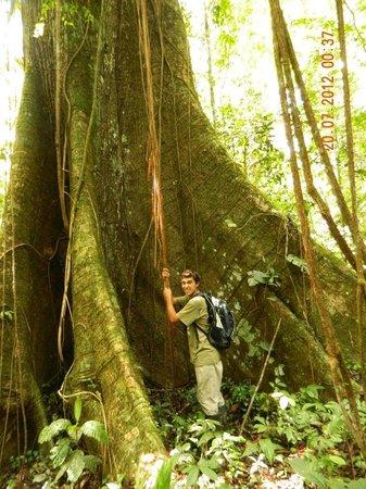 Zacambu Rainforest Lodge: Ceba tree