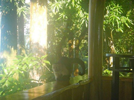 Copa de Arbol Beach and Rainforest Resort : Monkeys everywhere