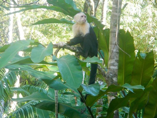 Copa de Arbol Beach and Rainforest Resort: Monkey are just as friendly as the staff..very mischievous lil guys!