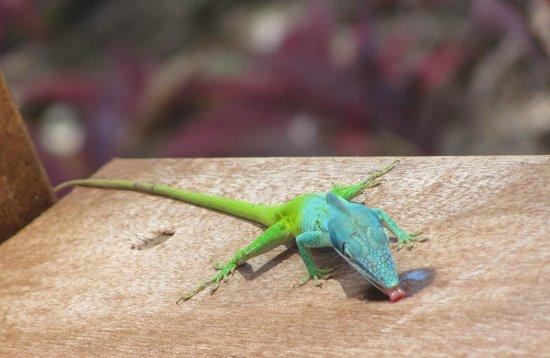 Royalton Cayo Santa Maria: Gecko