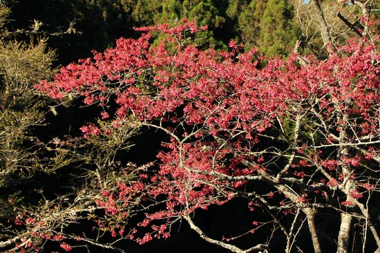 Alishan House: cherry blossom