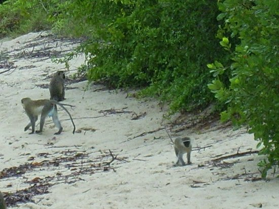 Bandari ya Amani Beach Lodge : Monkeys on the beach