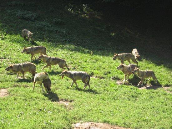 Parc de Courzieu : les loups