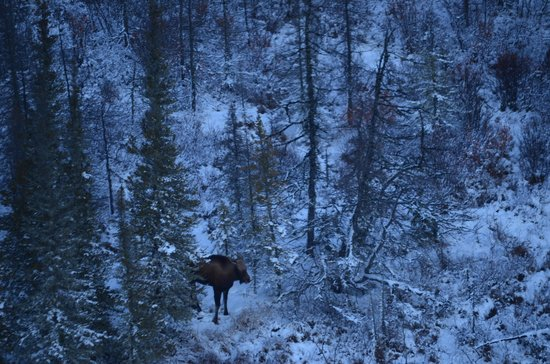 Hudson Bay: A Moose hiding in the trees.