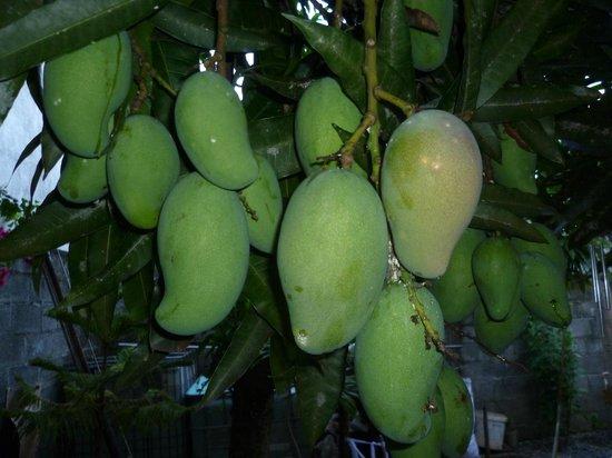 Auberge Le Saladier : Früchte des Mangobaumes im Garten
