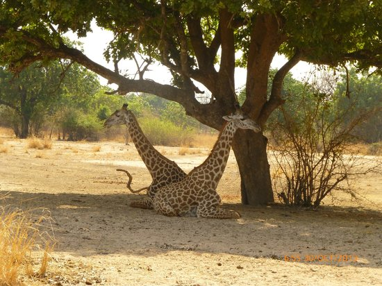 Kafunta River Lodge : Giraffes resting in the shade during the heat of the day