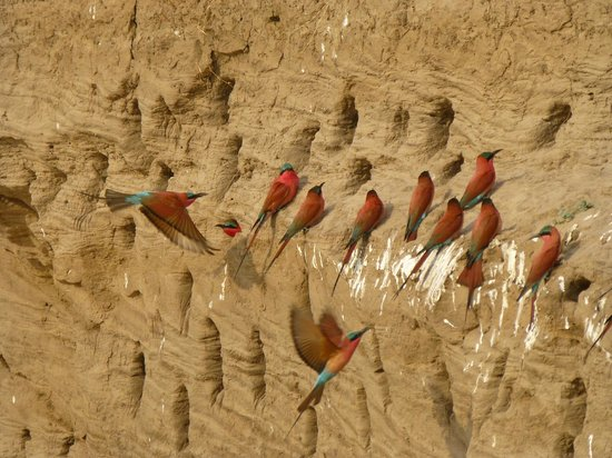 Kafunta River Lodge : Section of the Carmine Bee-eater colony