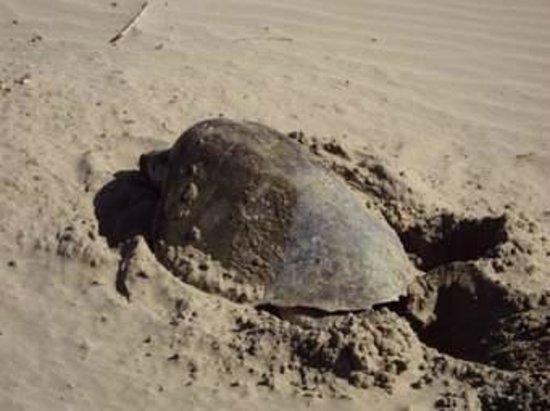 Playa Coco Cabanas: Turtle
