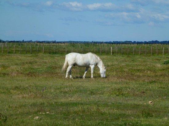 Domaine Sainte-Cecile: Camargue – white horses