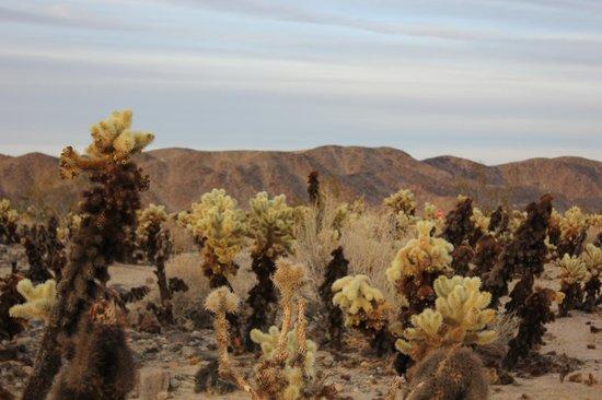 Joshua Tree National Park: Cholla Cactus Garden