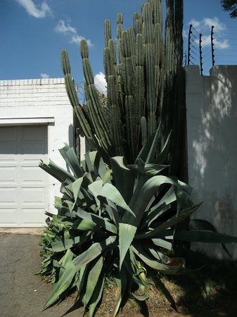 Cactus plants outside house in Melville.