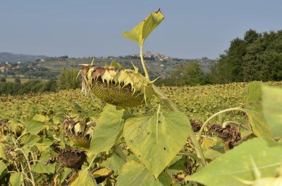 Agriturismo Fattoria Santa Vittoria: Sunflower view