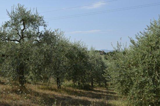 Agriturismo Fattoria Santa Vittoria: Olive grove