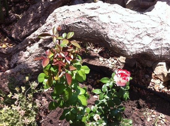 David Austin roses collection in one of the gardens at Tenuta Cammarana