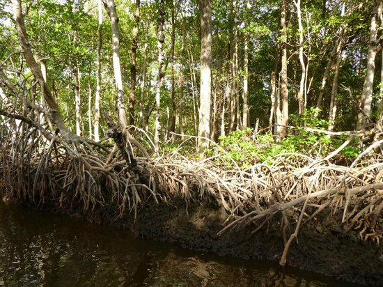 Everglades City Airboat Tours: Mangroves1