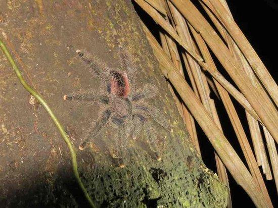 Amazonia Expeditions' Tahuayo Lodge: A tarantula encountered on a night walk.
