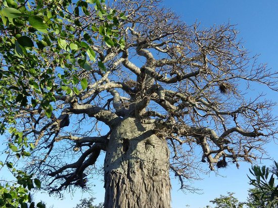 Mopani Rest Camp: Baobab de plus de 1000 ans au cœur du camp.