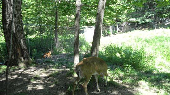 Squam Lakes Natural Science Center: Deer Habitat