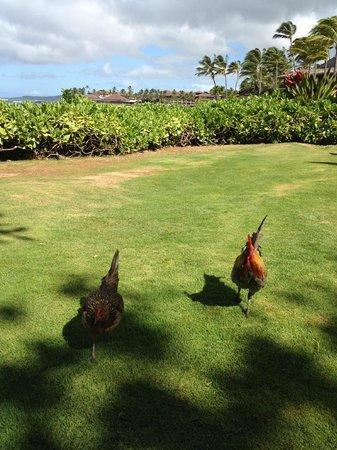 Marriott's Waiohai Beach Club: grassy area by beach with ubiquitous chickens