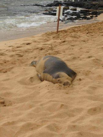 Marriott's Waiohai Beach Club: a young monk seal