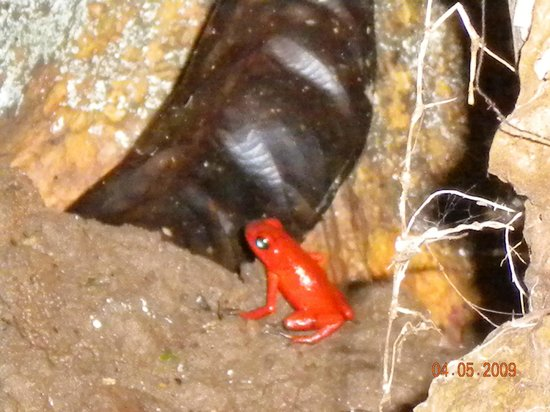 """Cashew Hill Jungle Cottages: This little fellow is a protected species - and only about 1"""" long"""