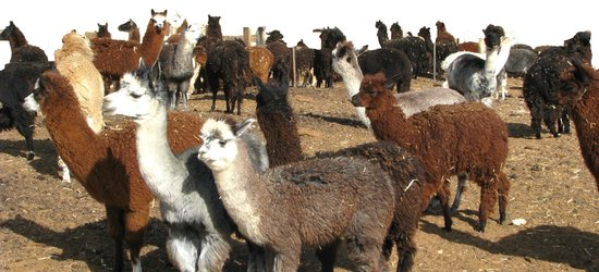 How Many Natural Colors Does Alpaca Wool Come In