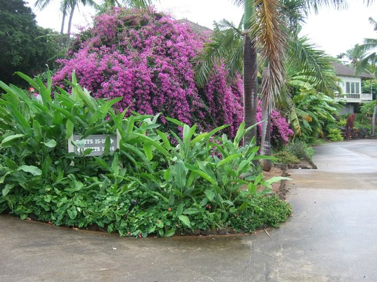 Poipu Crater Resort: The bouganvillea are all around