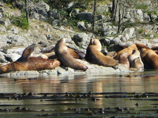 Campbell River Whale Watching and Adventure Tours: Sea lions on the way back