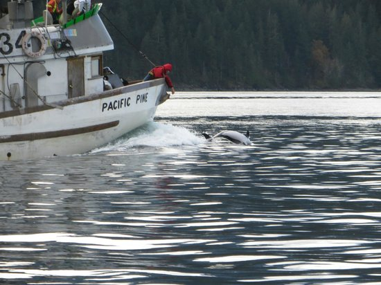 Campbell River Whale Watching and Adventure Tours: Dolphins on the way back