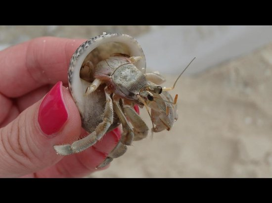 Kuramathi: Hermit Crabs-they're everywhere! Supercool