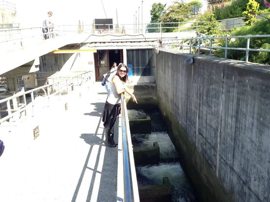 "Hiram M. Chittenden Locks : Escadas ""corredeiras"" para os salmões."
