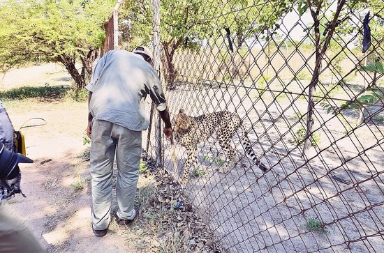 Chaminuka Game Reserve: Cheetahs - you can get close but they're fenced in