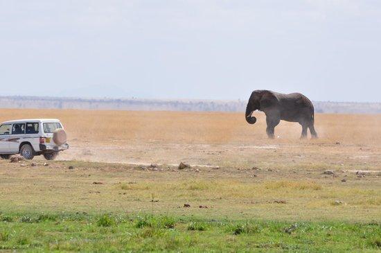 Amboseli National Park: safari