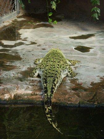 Wilhelma Zoologisch-Botanischer Garten: Aligator von hinten