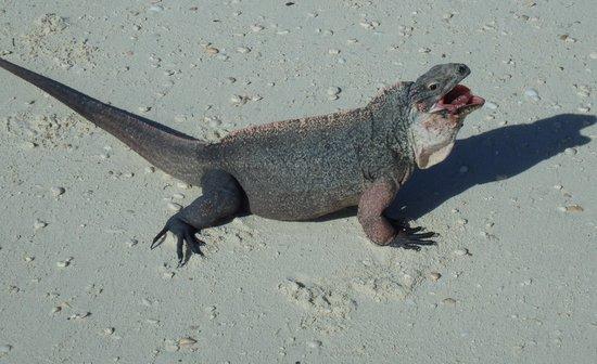 Exuma Water Tours: Iguana or baby dragon