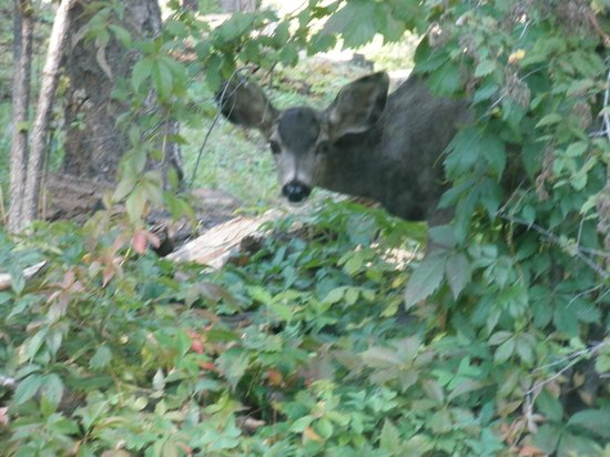 Mountain Air Cabins: Playing Peek-a-Boo with a Doe Deer