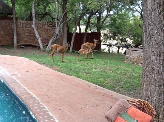Shumbalala Game Lodge: nyala family living on grounds of Shumbalala