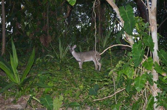 Caneel Bay Resort : Random Deer