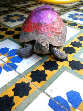 Les Couleurs de l'Orient: friendly riad tortoise!