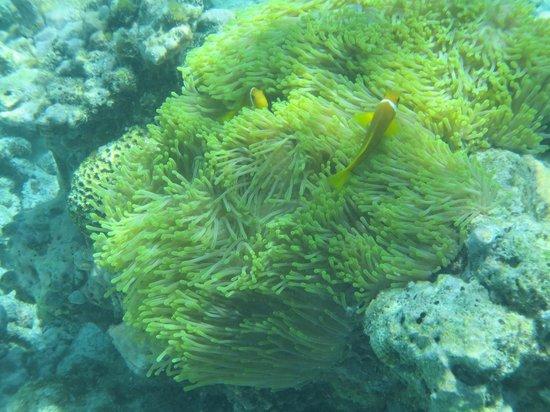Komandoo Maldives Island Resort: Clownfisch 1