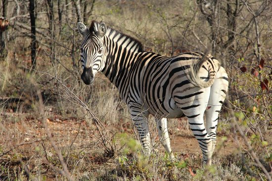 Sefapane Lodge and Safaris: Ochtendsafari - Zebra