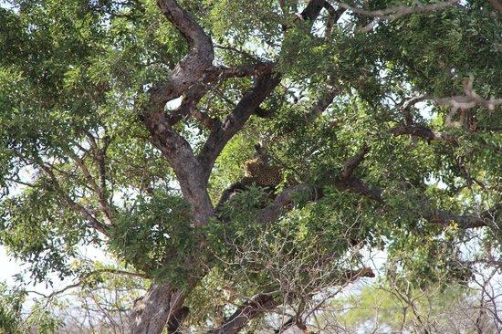 Sefapane Lodge and Safaris: Ochtendsafari - Luipaard
