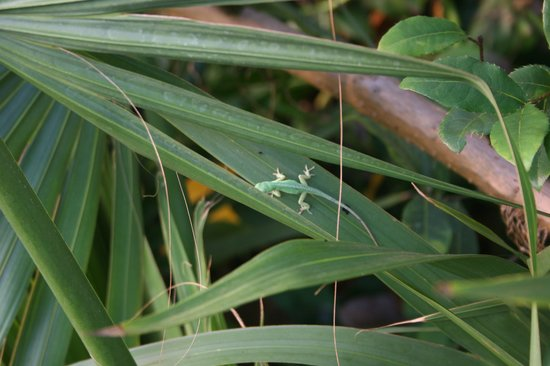 Eden Project: little Gecko in the rain forest