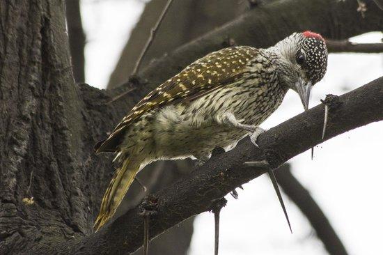 Sefapane Lodge and Safaris: cardinal woodpecker at Sefapane Lodge