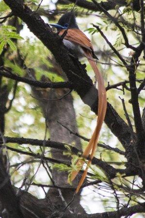 Aha Sefapane Lodge and Safaris: paradise flycatcher at Sefapane Lodge