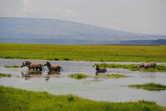 Cebras cruzando lago foto de reserva nacional masai mara for Oficina 9646 la caixa