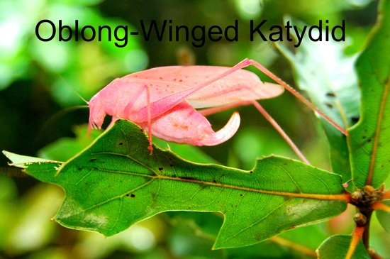 Audubon Butterfly Garden and Insectarium: Cool pink Katydid